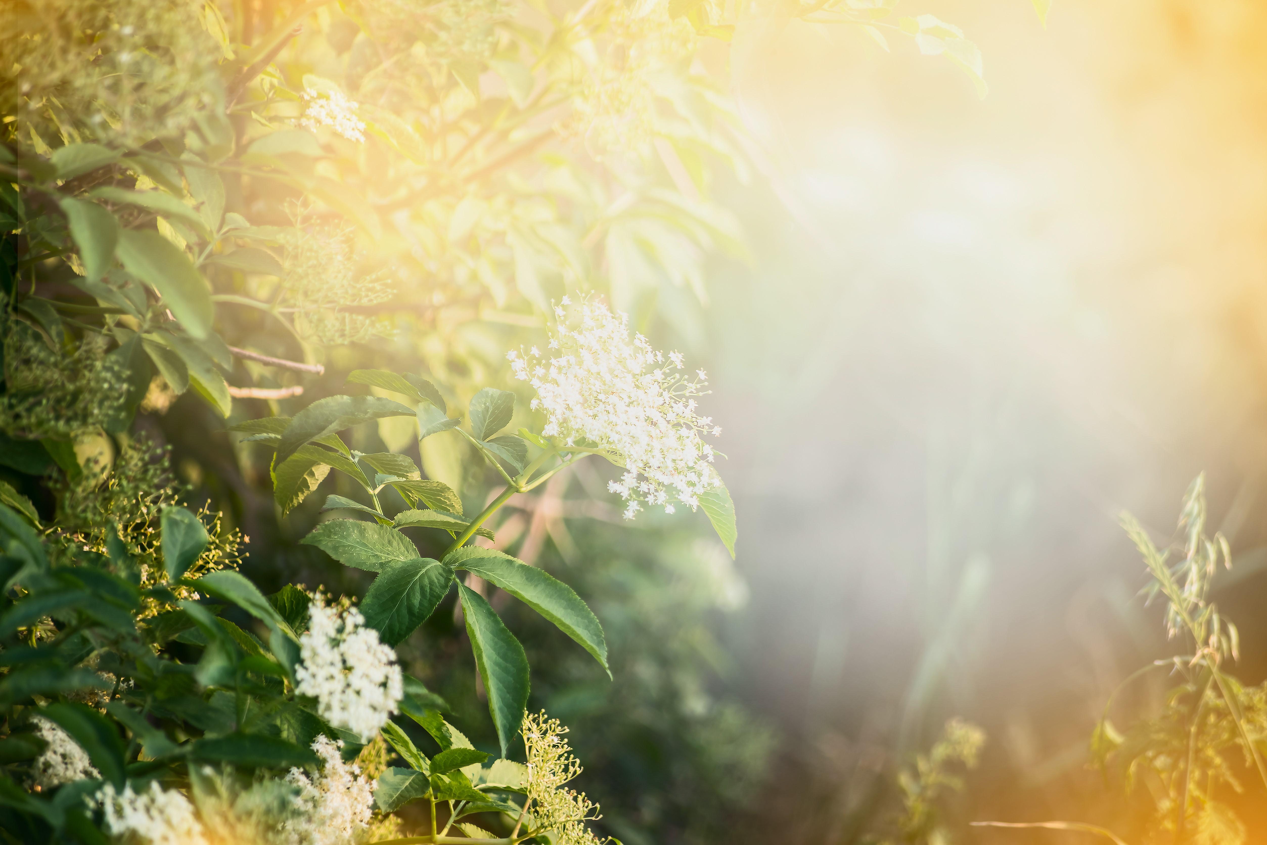 Le sureau contient des polyphénols, des anti-oxydants luttant contre le vieillissement cutané et qui agissent comme protecteur de la peau lorsqu'elle est exposée aux rayons ultra-violets du soleil. Les vitamines A et C,  ont une action anti-inflammatoire et une action contre les rougeurs causées par la couperose, rosacée et eczéma.