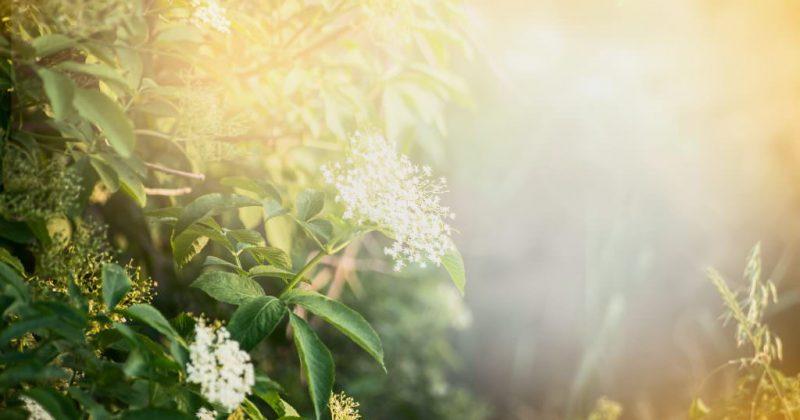 Arbuste de sureau en fleur